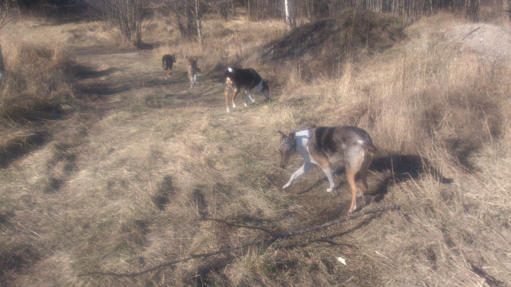 Hundar på rad